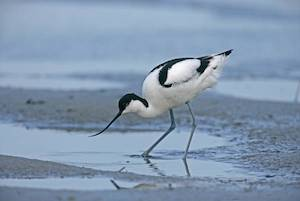 Avocet on the river exe